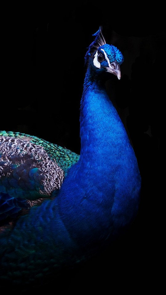 Top Wallpapers Hd For Iphone Beautiful Peacock 4k Wallpapers Hd Wallpapers Id 21135