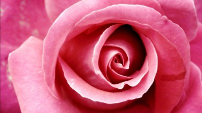 Beautiful Pink Rose Wallpapers | HD Wallpapers | ID #8678