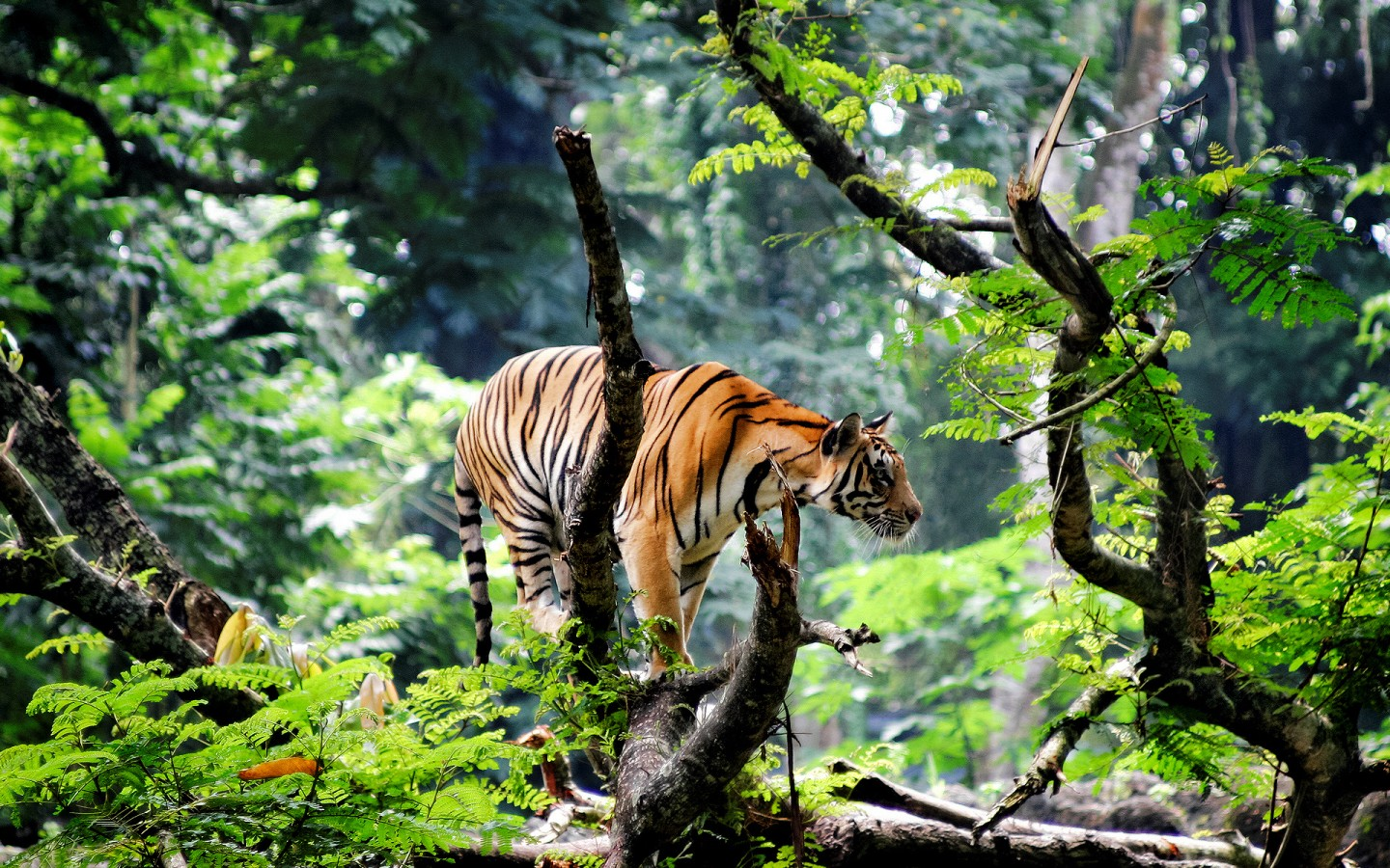 Cute Bengal Wallpapers Hd 1366x768 Bengal Tiger In Jungle Wallpapers Hd Wallpapers Id 15726