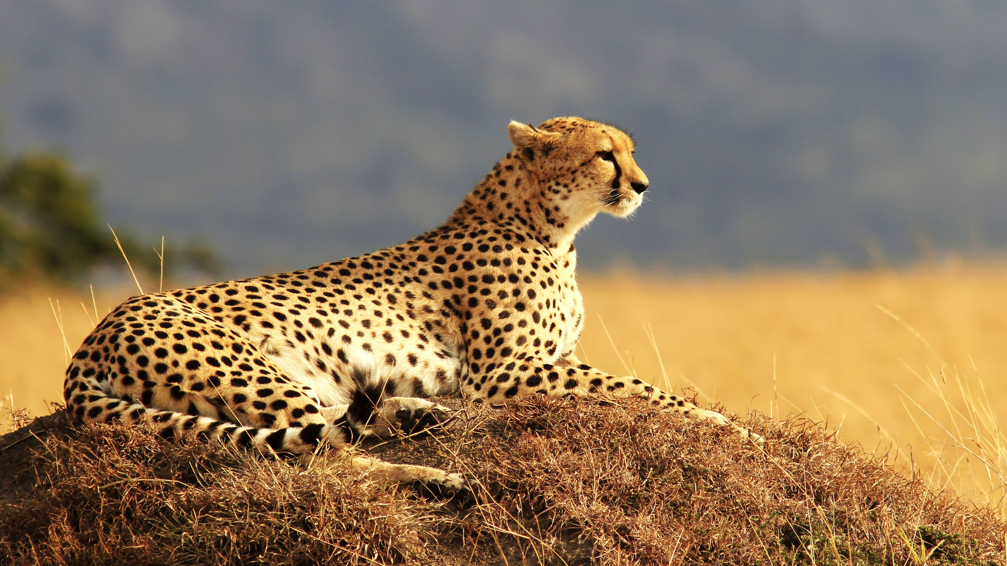 Crazy Iphone 5 Wallpapers Cheetah 4k Wallpapers Hd Wallpapers Id 18592