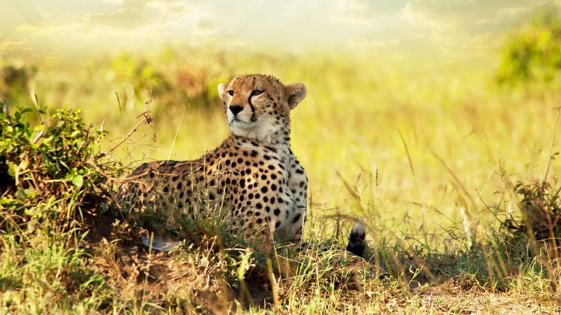 3d Wallpaper South Africa Cheetah Savanna Africa Wallpapers Hd Wallpapers Id 9855