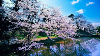 Cherry Blossom Trees Wallpapers | HD Wallpapers | ID #11593