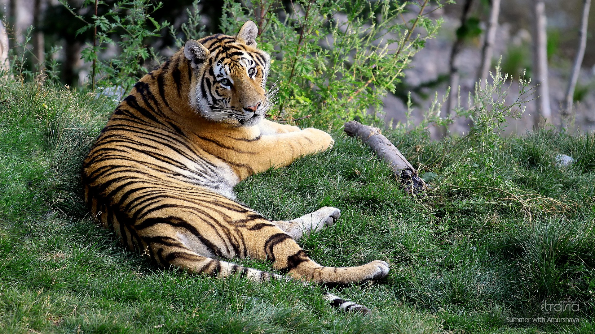 Cute 3d Wallpapers For Laptops Female Tiger Amurshaya Wallpapers Hd Wallpapers Id 10148