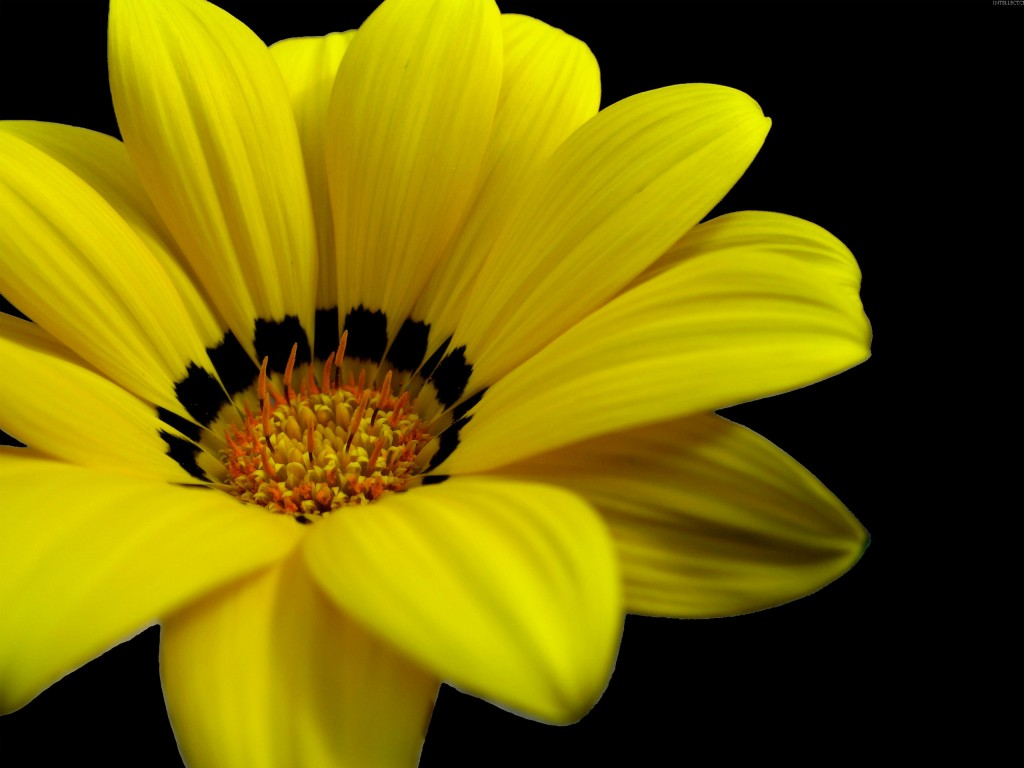 3d Pink Wallpapers Hd Great Yellow Flower Wallpapers Hd Wallpapers Id 5601