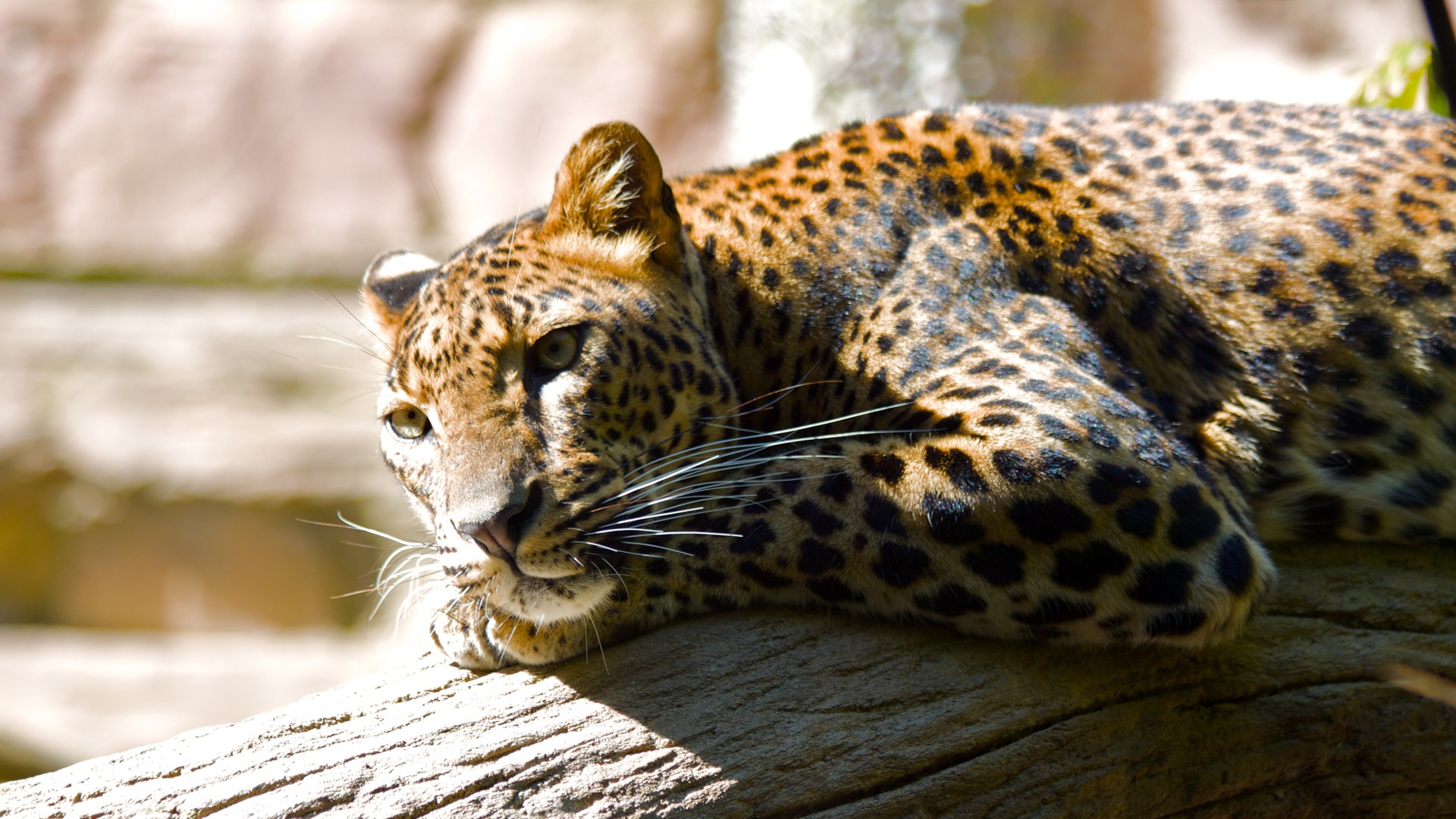 Latest Full Hd Wallpapers 1080p Leopard Hq Wallpapers Hd Wallpapers Id 8617