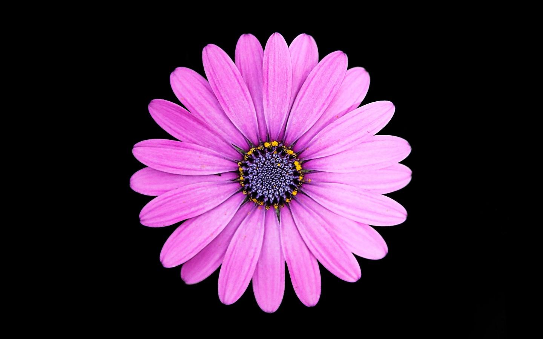 Wallpaper Iphone Purple Margarita Purple Daisy Flower 4k Wallpapers Hd