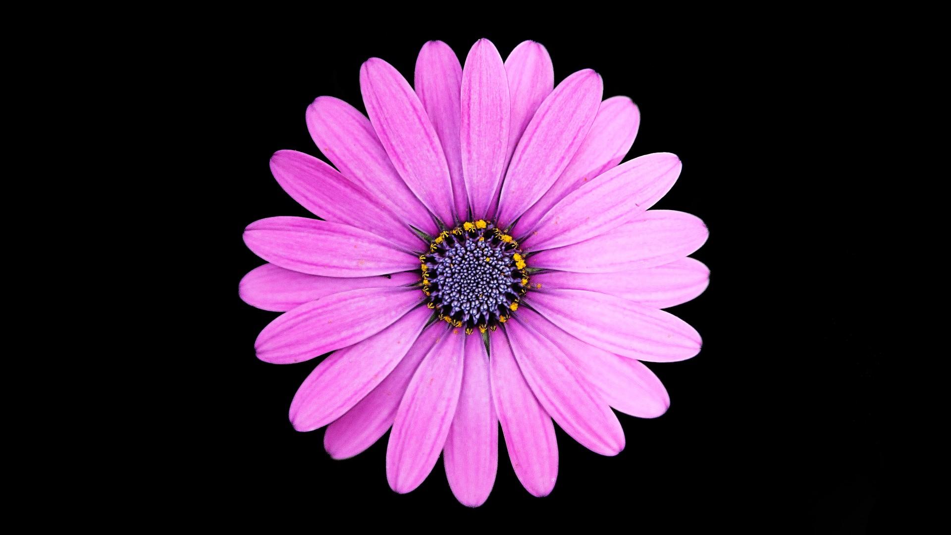 Wallpaper For Iphone 5s Black Margarita Purple Daisy Flower 4k Wallpapers Hd