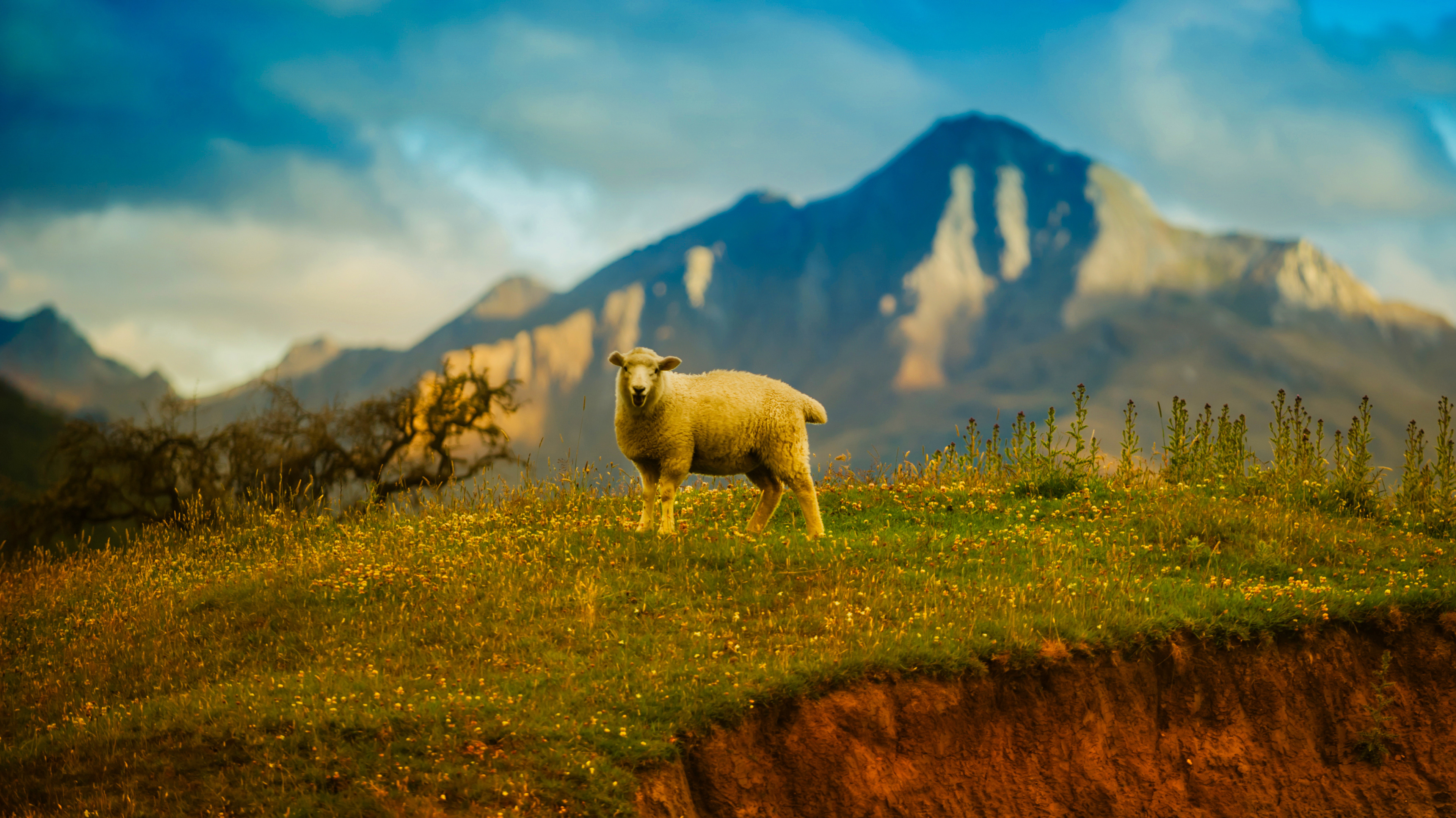 Windows 7 Wallpaper Hd 3d For Desktop New Zealand Sheep 4k Wallpapers Hd Wallpapers Id 25053