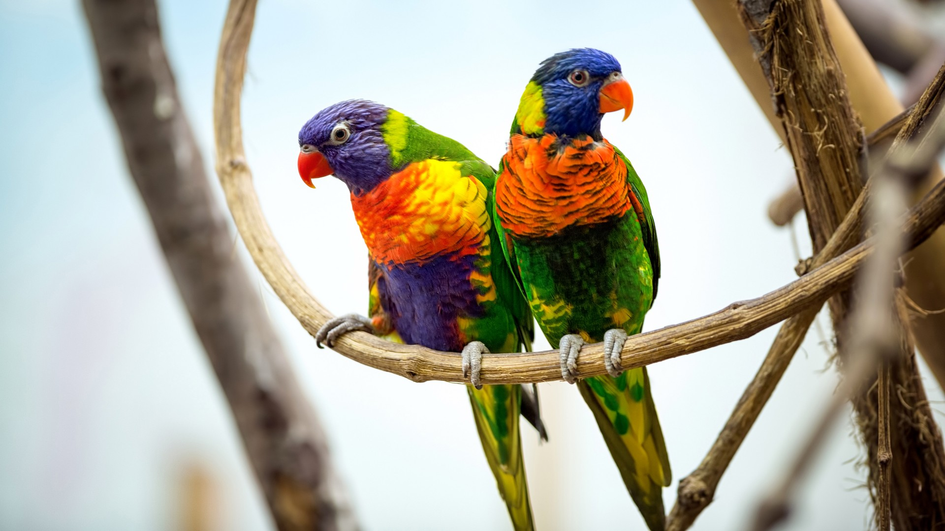 3d Wallpaper For Pc 1366x768 Parrot Pair 4k Wallpapers Hd Wallpapers Id 20010