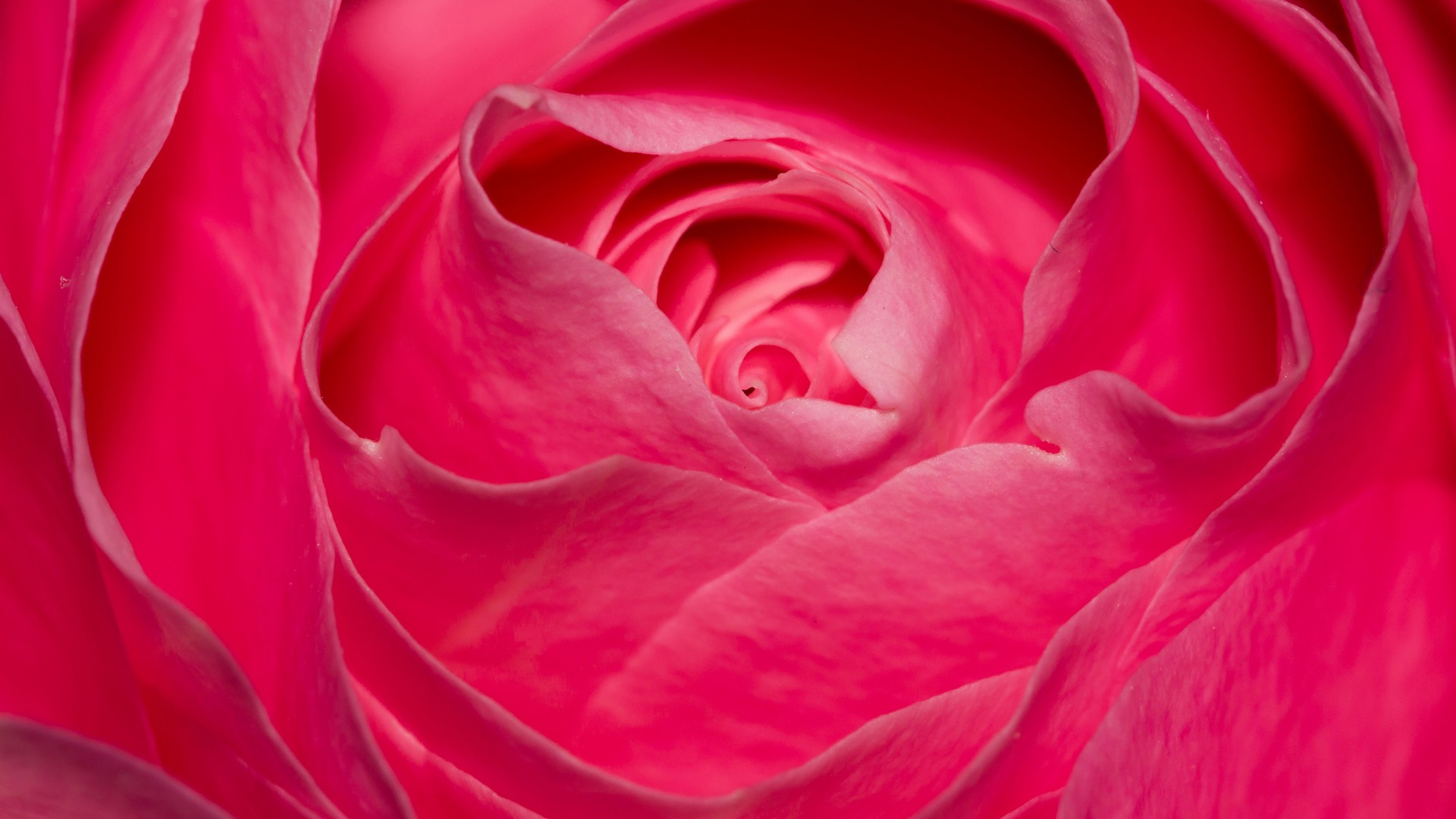 Hi Def 3d Wallpaper Perfect Pink Rose Wallpapers Hd Wallpapers Id 18379
