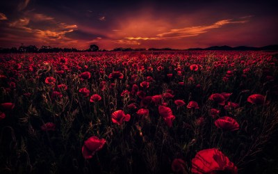 Poppy Field 5K Wallpapers | HD Wallpapers | ID #18939
