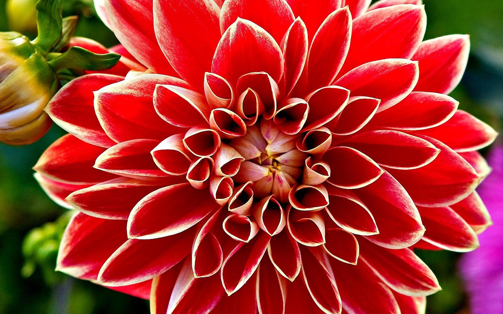Iphone 4 3d Wallpaper Ios 7 Red Dahlia Wallpapers Hd Wallpapers Id 8894