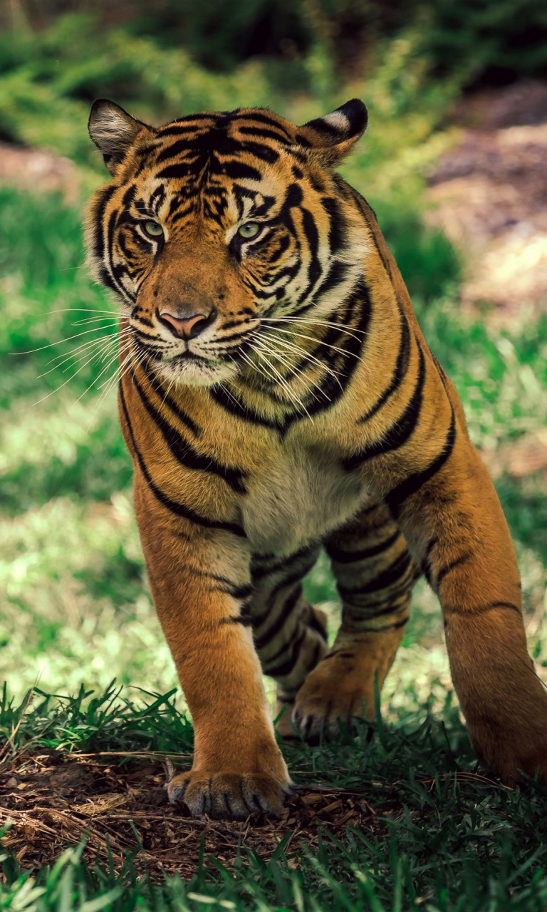How To Download Wallpaper For Iphone 6 Savanna Tiger Wildlife Wallpapers Hd Wallpapers Id 18016