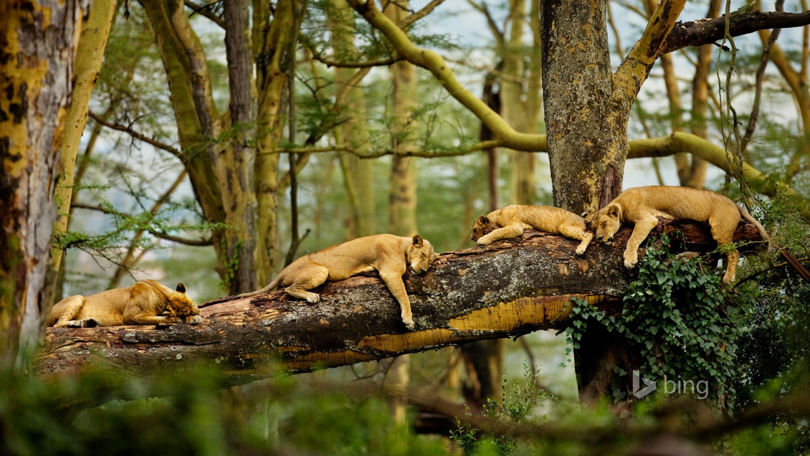Cute Faith Wallpapers Sleeping Lions Wallpapers Hd Wallpapers Id 13968