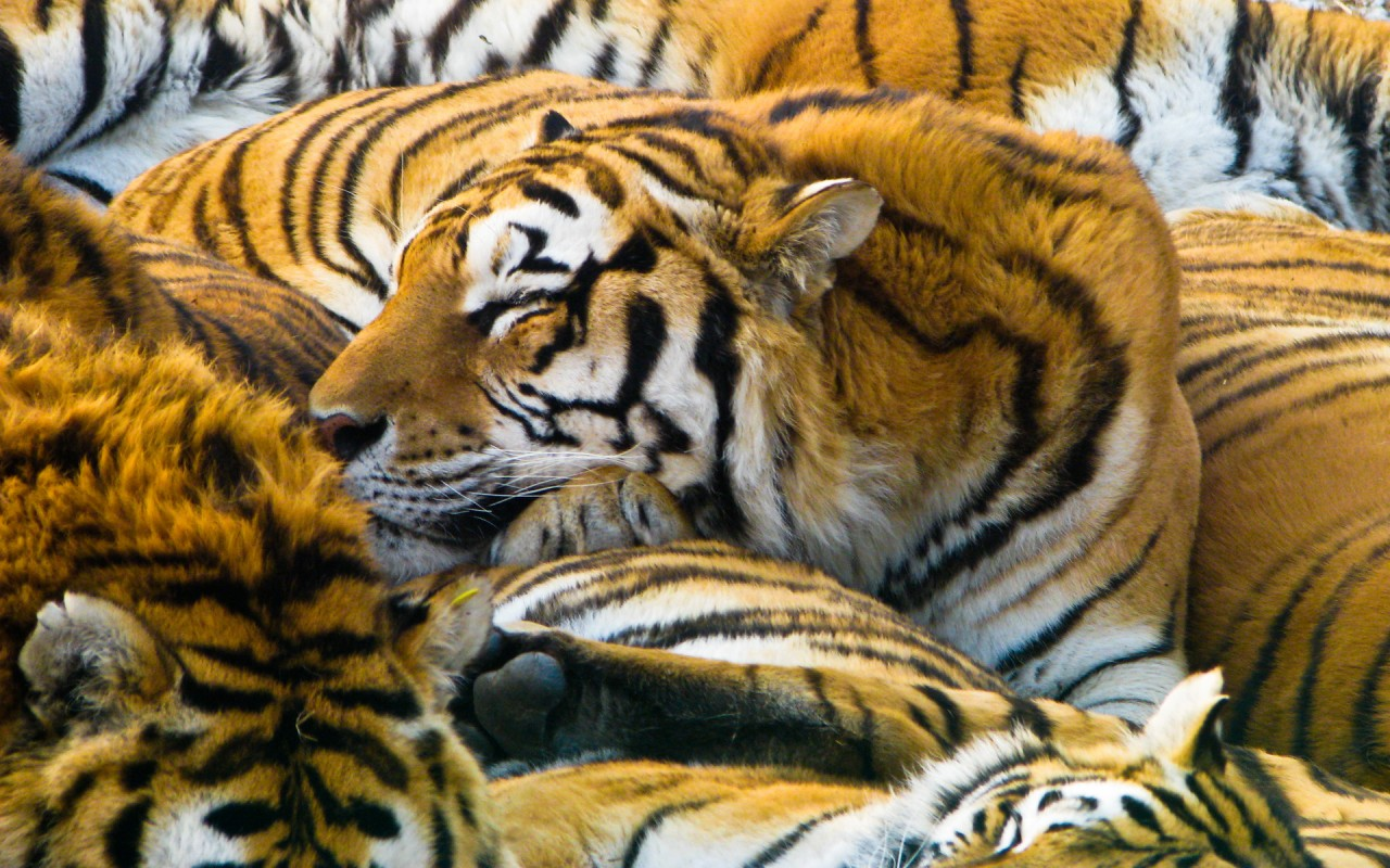 Cute Wallpapers Images Download Sleeping Tigers Wallpapers Hd Wallpapers Id 8914