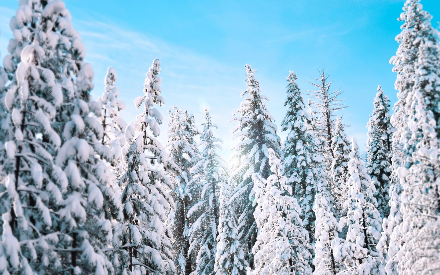 Cute Wallpapers On Computer Sunny Winter Pine Trees 4k Wallpapers Hd Wallpapers Id