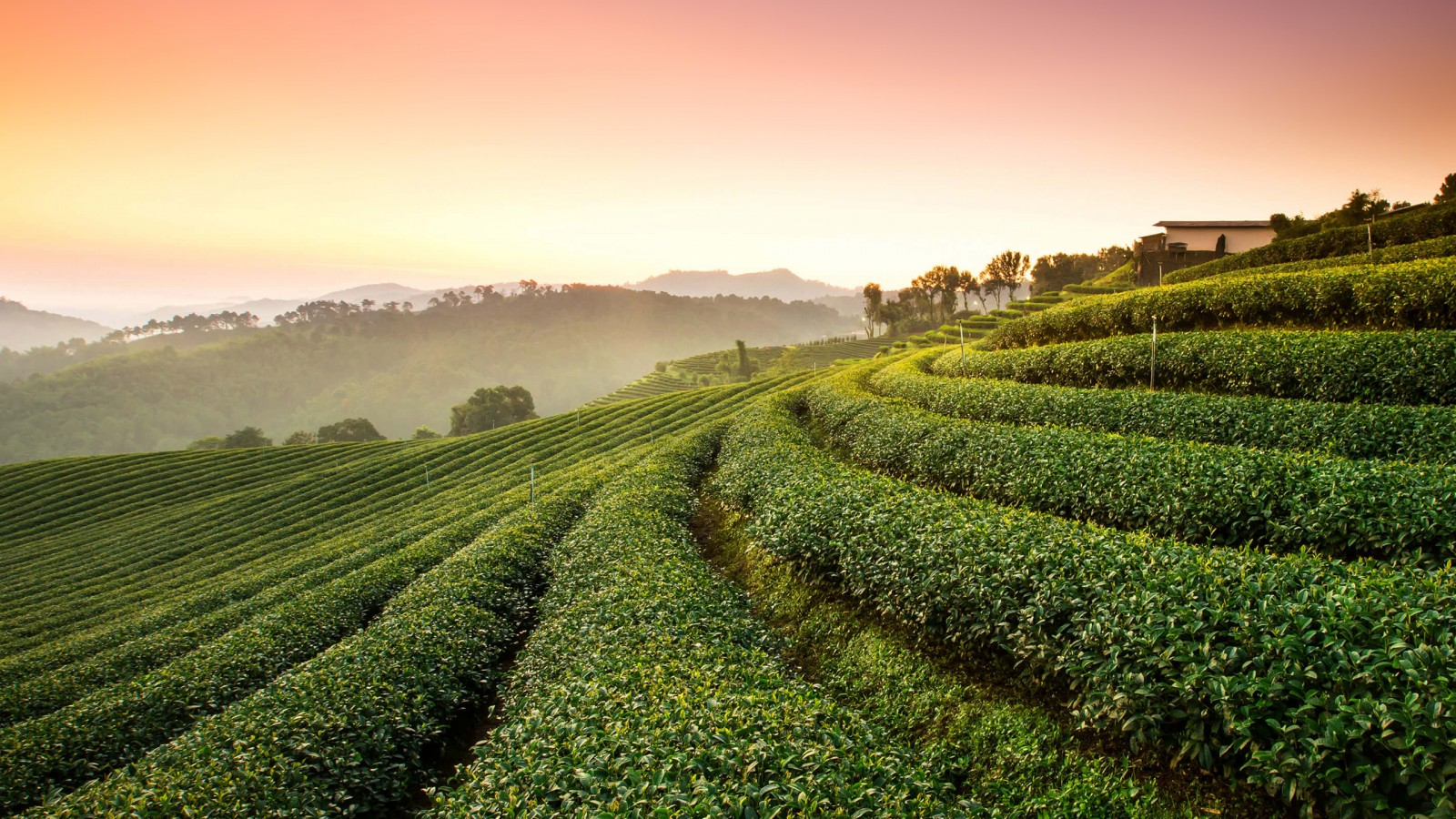 3d Love Wallpapers For Windows 8 Tea Plantation Landscape Wallpapers Hd Wallpapers Id