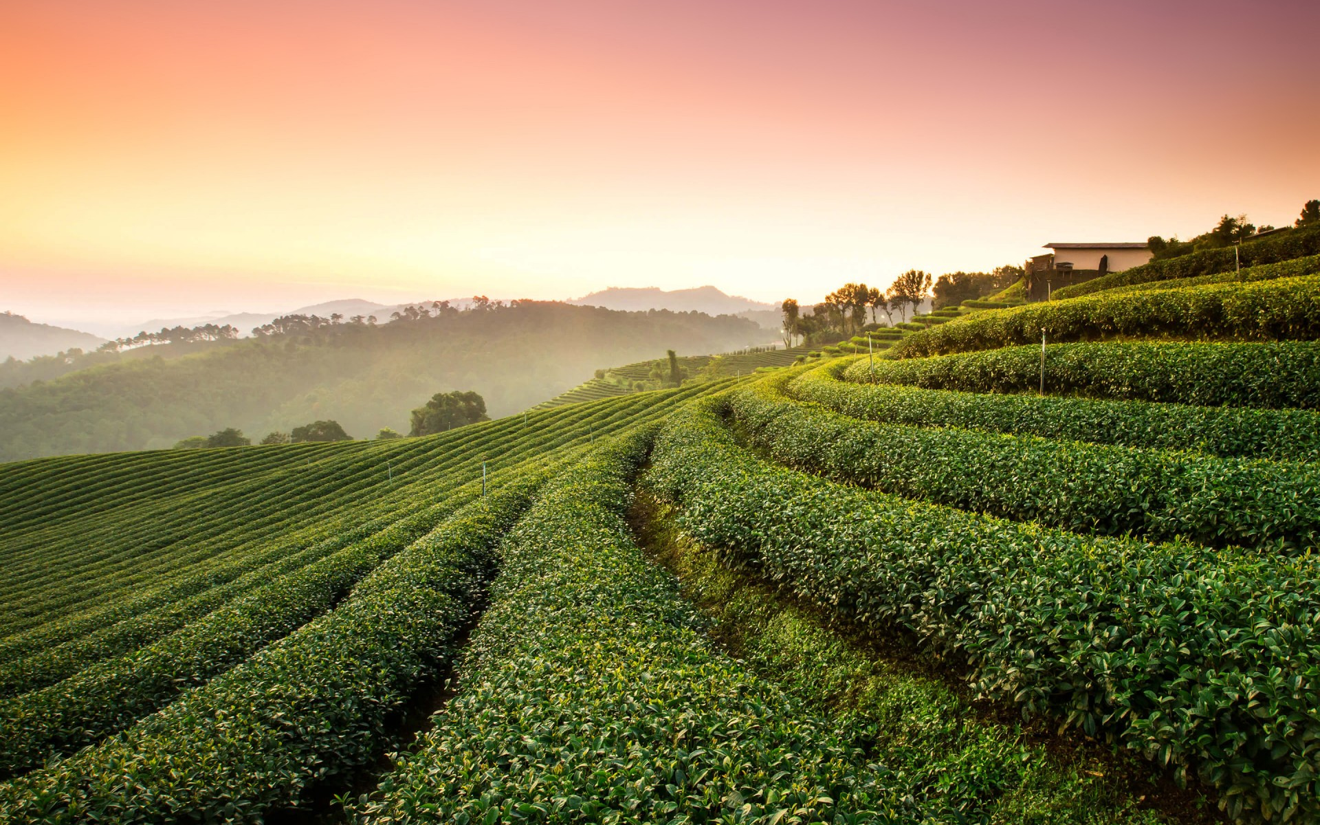 Most Popular Wallpaper For Iphone 6 Tea Plantation Landscape Wallpapers Hd Wallpapers Id