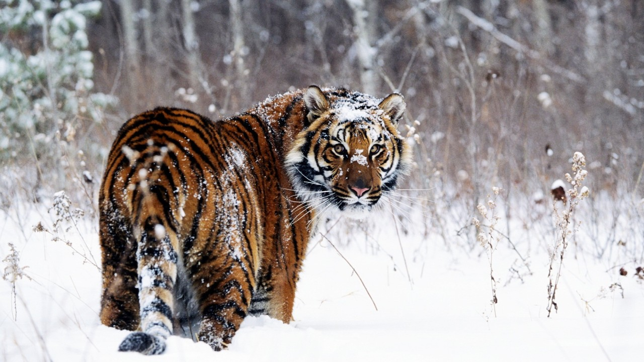 3d Cute Cat Wallpaper Tiger In Snow Wallpapers Hd Wallpapers Id 467