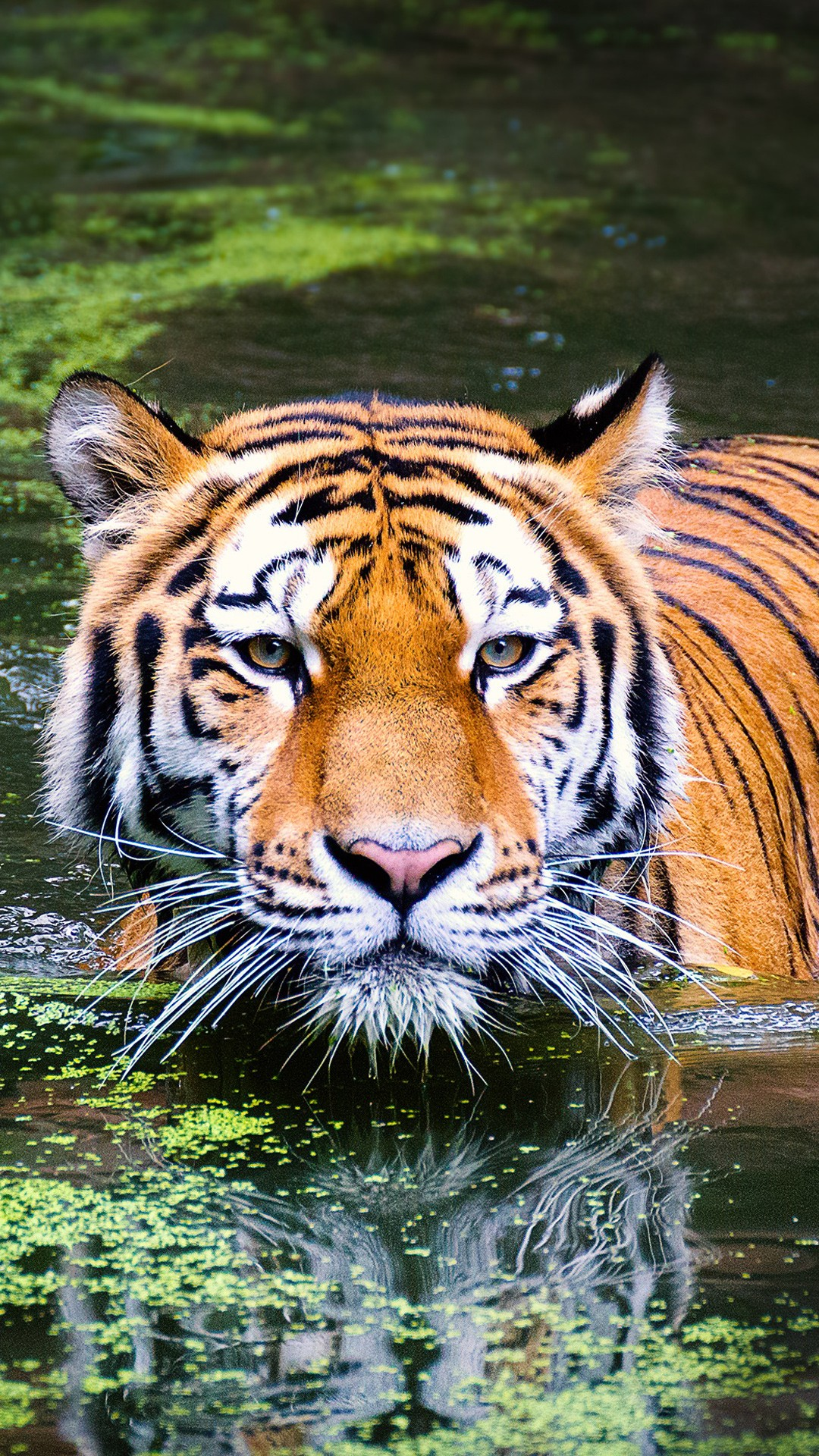 Most Beautiful Wallpapers Of Animals Tiger In Zoo Wallpapers Hd Wallpapers Id 21060