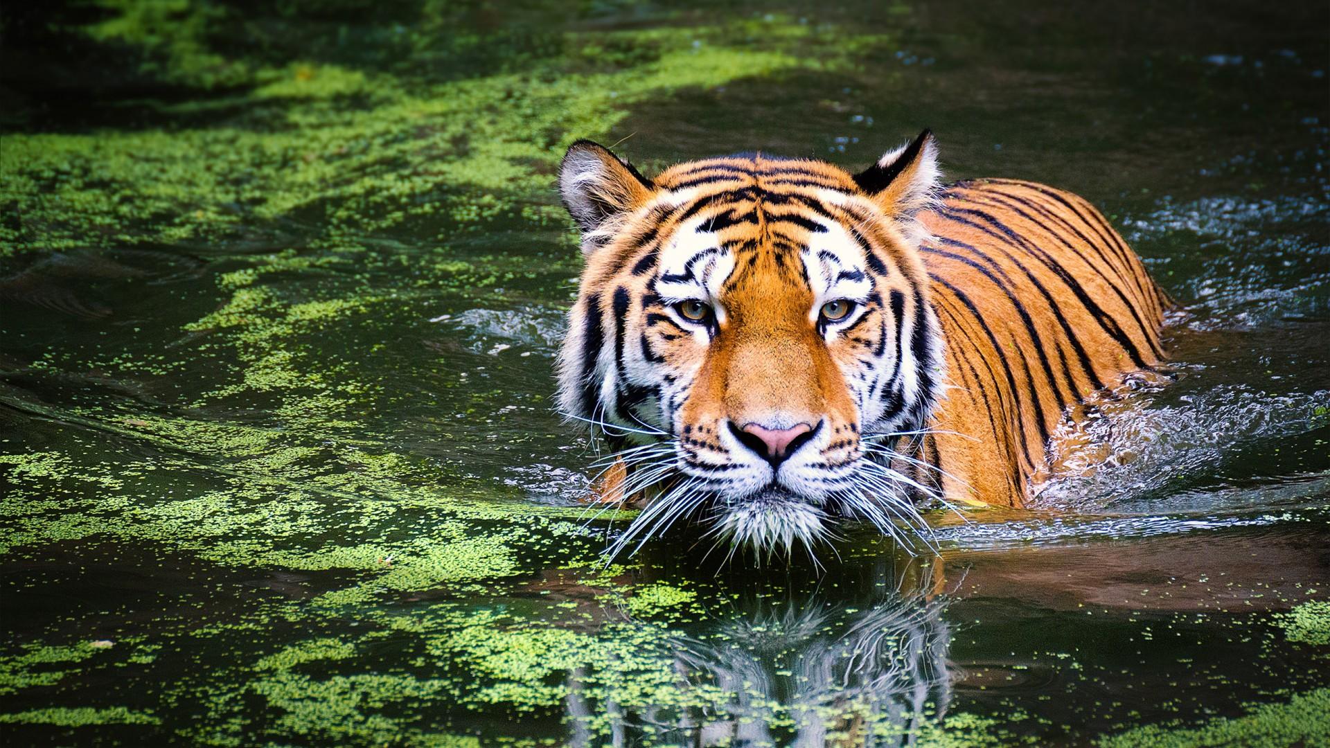 Cheetah 3d Wallpaper Tiger In Zoo Wallpapers Hd Wallpapers Id 21060