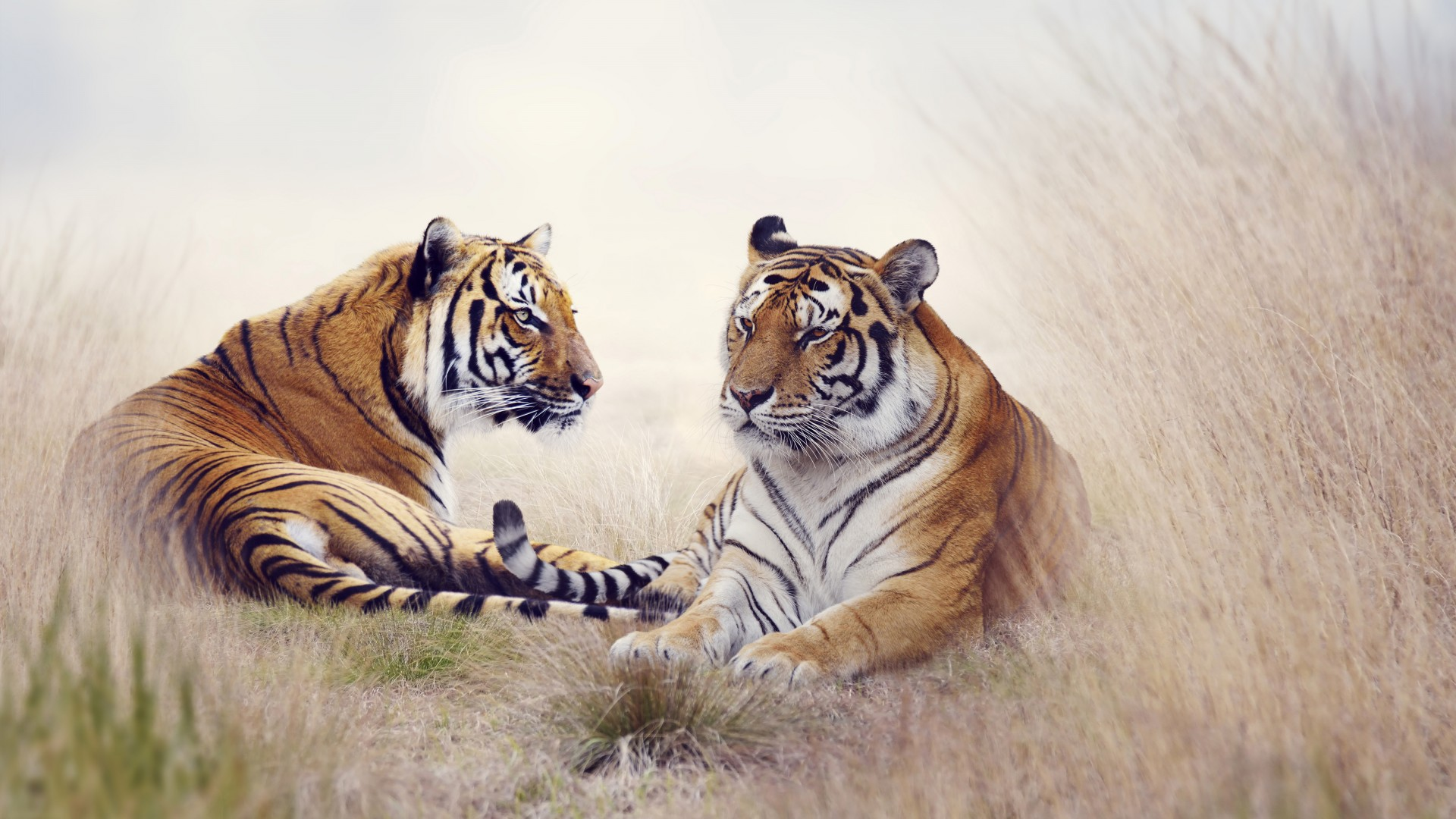 Cute Bengal Cats Wallpaper Tiger Pair 5k Wallpapers Hd Wallpapers Id 18449