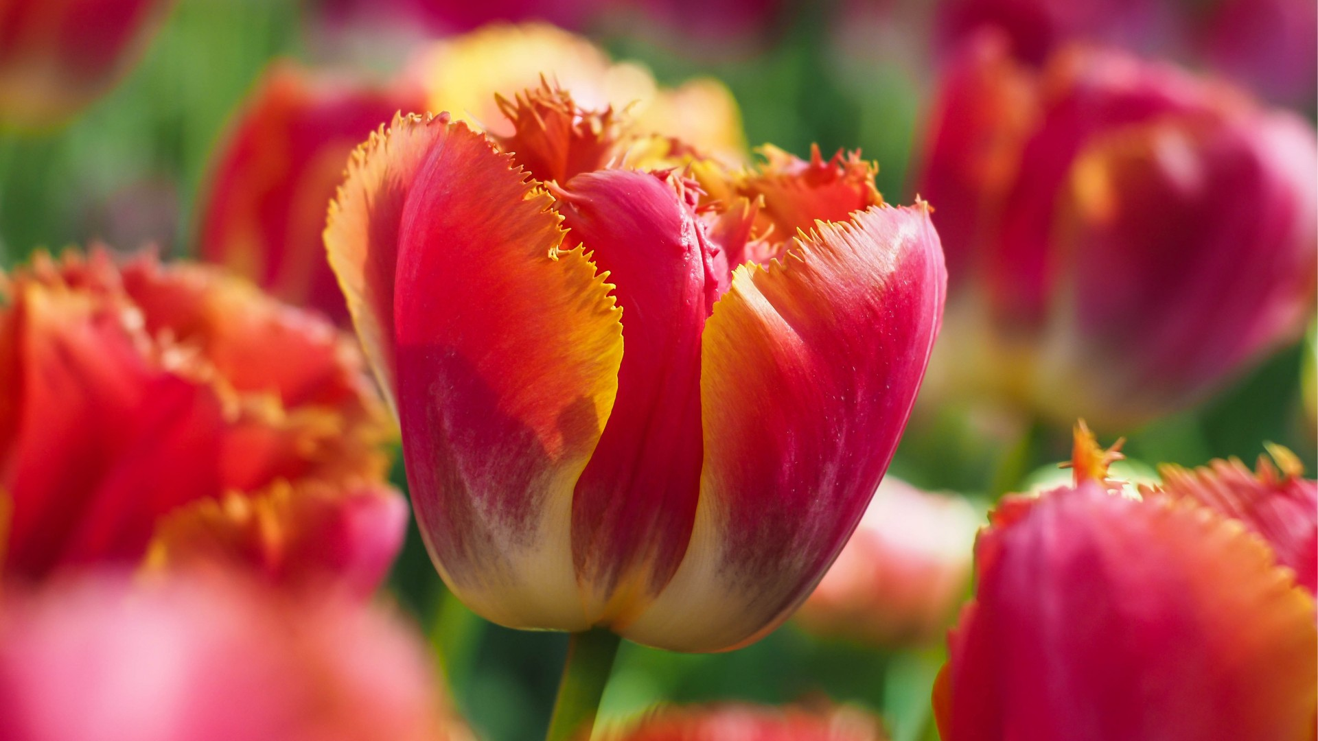 Beautiful 3d Wallpaper For Android Tulip Flowers 5k Wallpapers Hd Wallpapers Id 18404