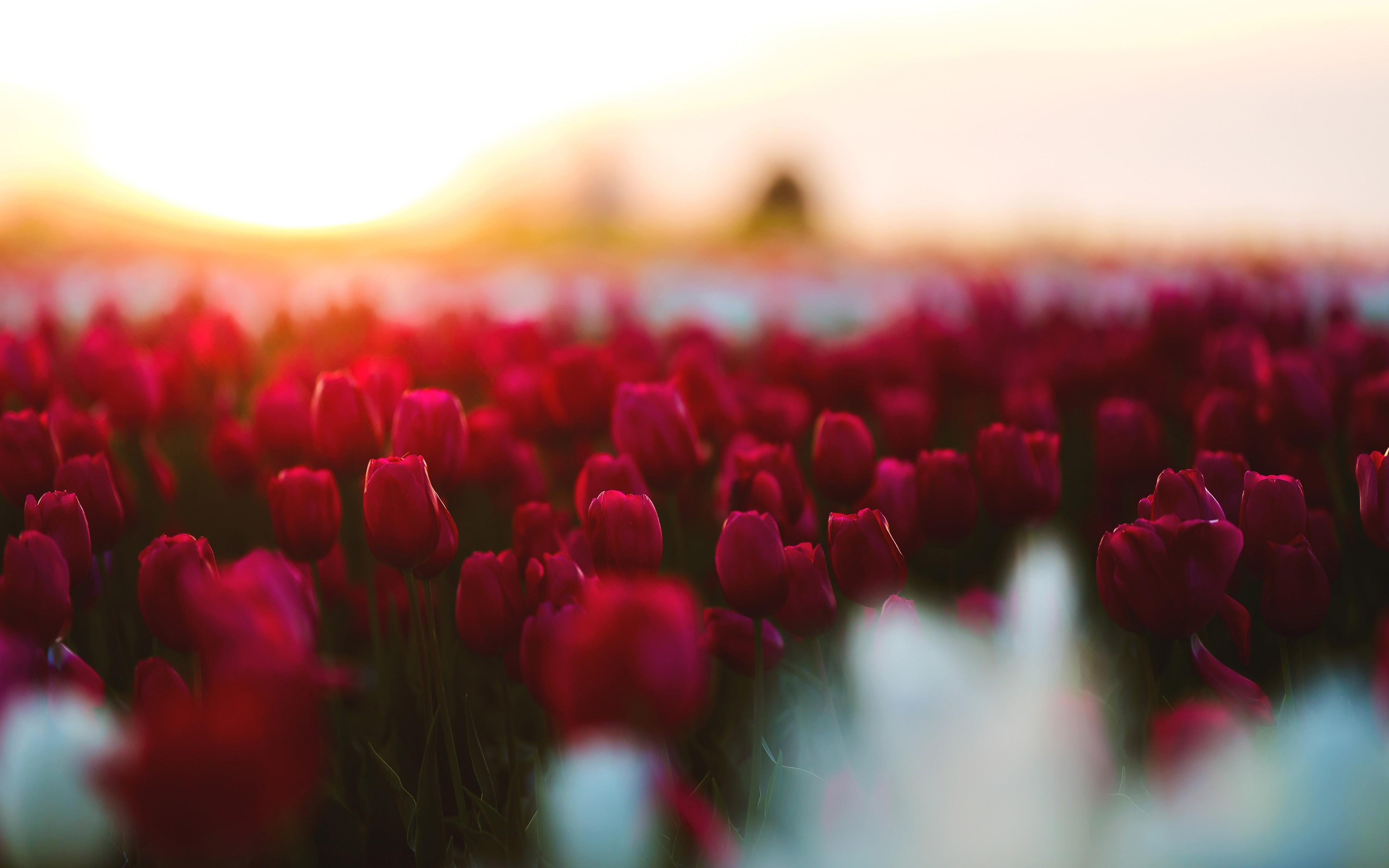 Wallpaper Hd 1080p 3d Flower Tulips Garden 4k Wallpapers Hd Wallpapers Id 22803