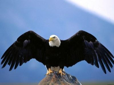 Wingspan Bald Eagle Wallpapers   HD Wallpapers   ID #4865