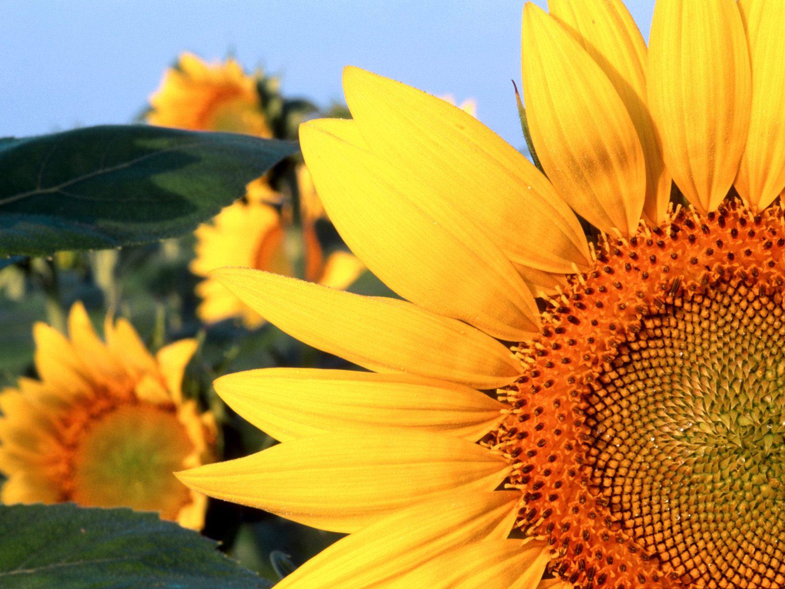 3d Rose Wallpaper For Mobile Sunflower Nebraska Wallpapers Hd Wallpapers
