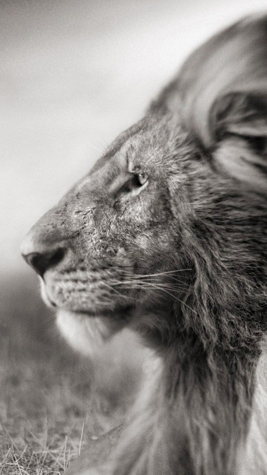 Samsung Galaxy S4 Wallpapers Hd Download Download Portrait Of A Lion In Black And White Hd