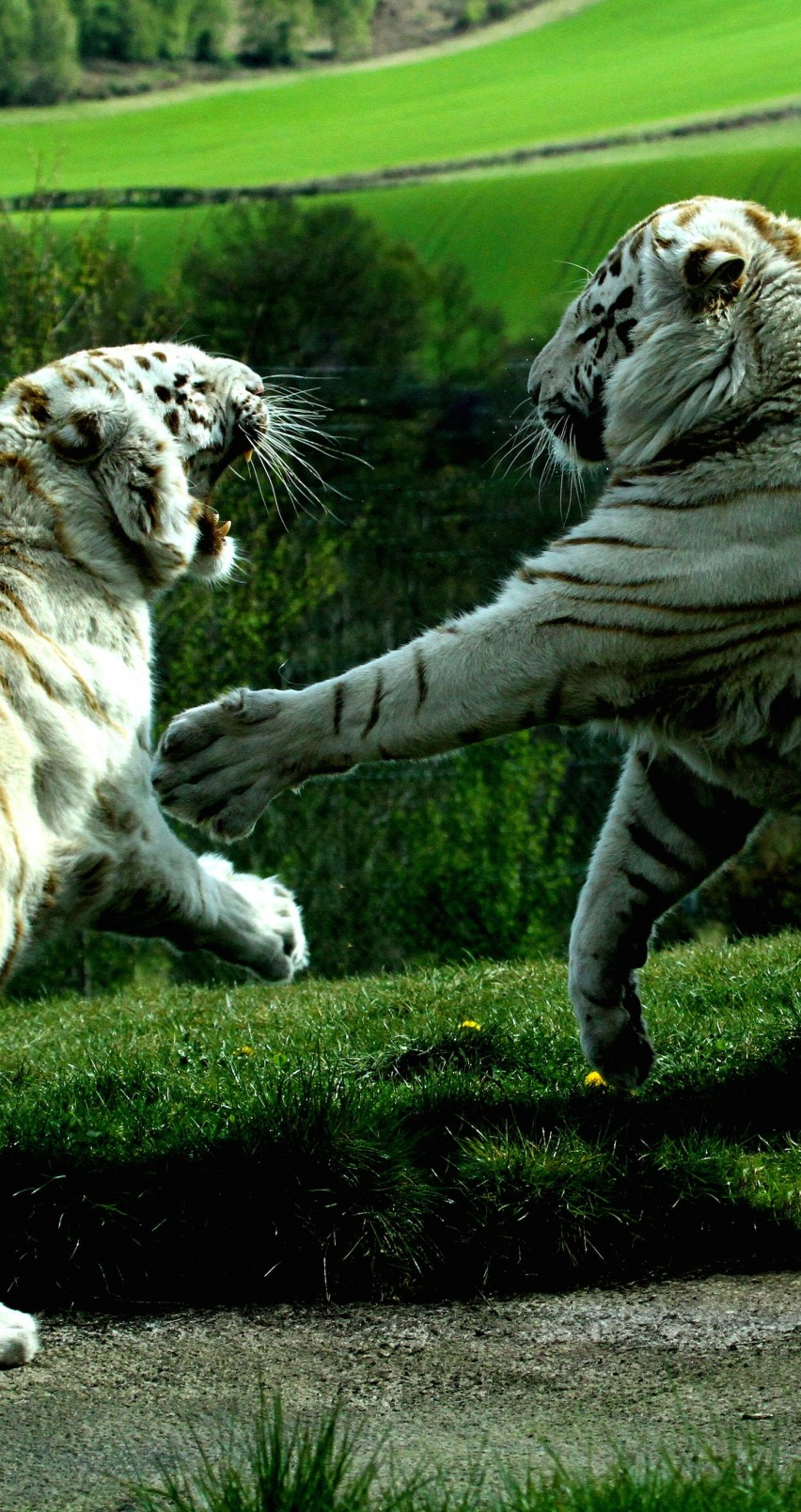 Iphone 6s Wallpaper Hd Download White Tigers Fighting Hd Wallpaper For Iphone 6