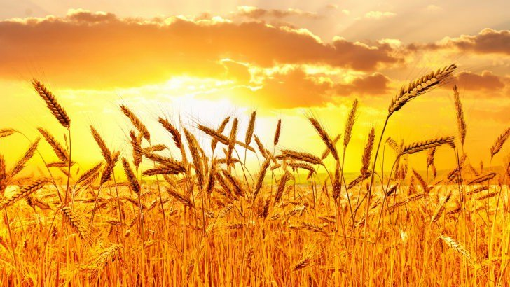 Iphone Wallpaper Reddit Golden Wheat Field At Sunset Wallpaper Nature Hd