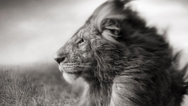 Samsung Galaxy S3 Wallpaper Quotes Portrait Of A Lion In Black And White Wallpaper Animals