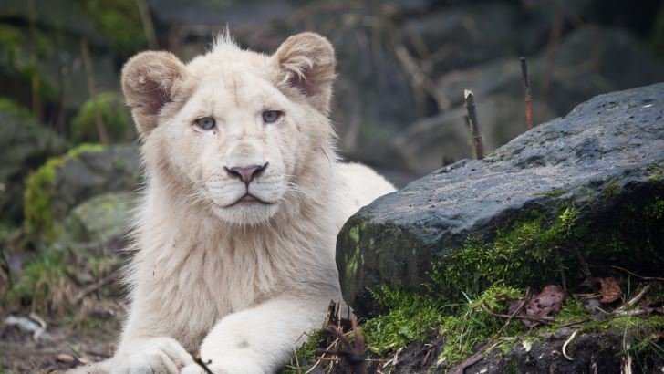 Samsung Galaxy S3 Wallpaper Quotes White Lions Wallpaper Animals Hd Wallpapers