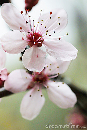 Wallpaper Sakura 3d Cherry Flower Hd Wallpapers Pulse