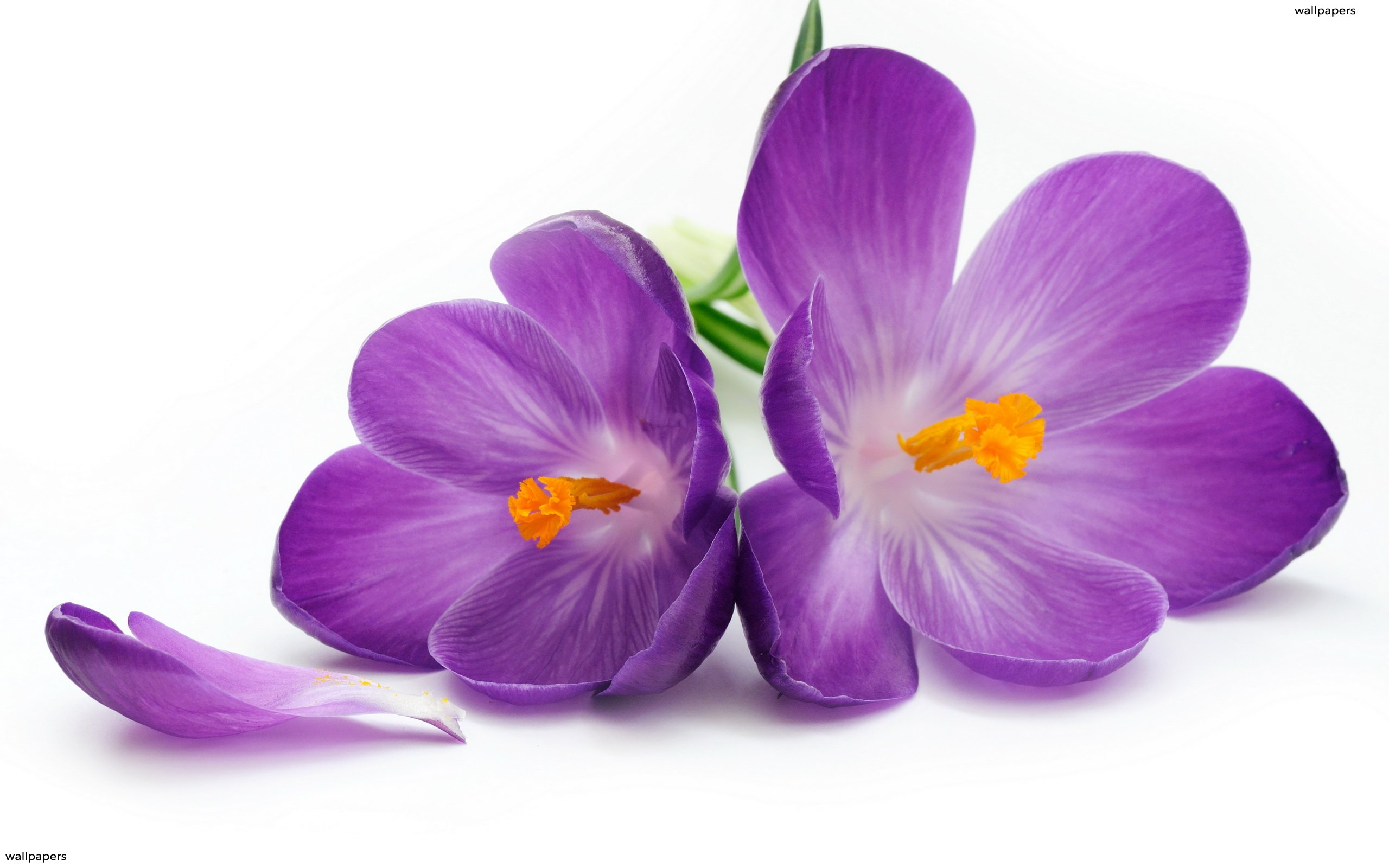 Stunning Fall Wallpapers Violet Flower Wallpapers Hd Wallpapers Pulse