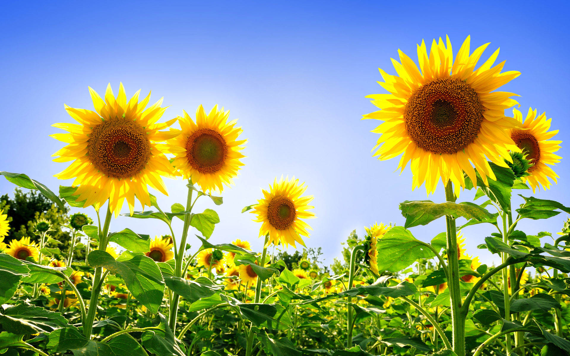 3d Sunflower Wallpaper Sunflower Pictures 21592 1920x1200 Px Hdwallsource Com