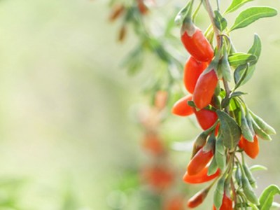 Goji berry, wolfbery, Lycium chinense, barbarum