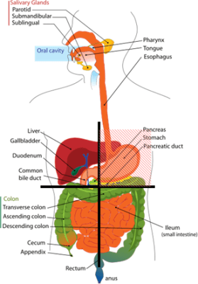 Abdominal Pain, Picture of Abdominal Quadrants with Organs