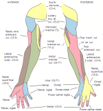 Dermatome Nerve Distribution Arm