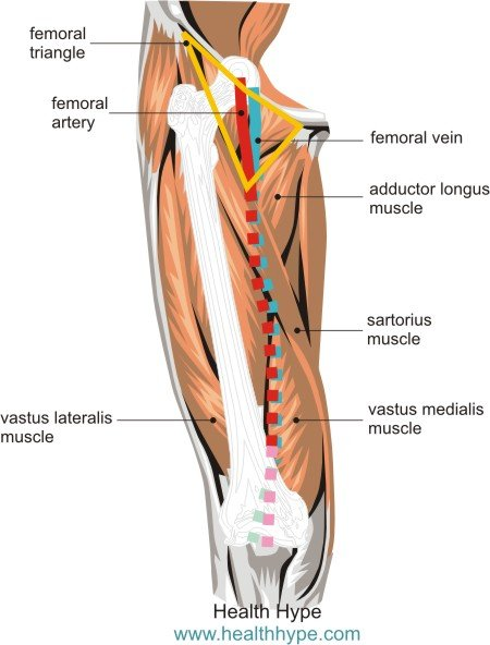 Femoral Blood Vessels (Artery and Vein), Anatomy, Pictures - femoral triangle