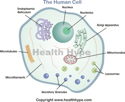 Human Cell Diagram, Parts, Pictures, Structure and Functions