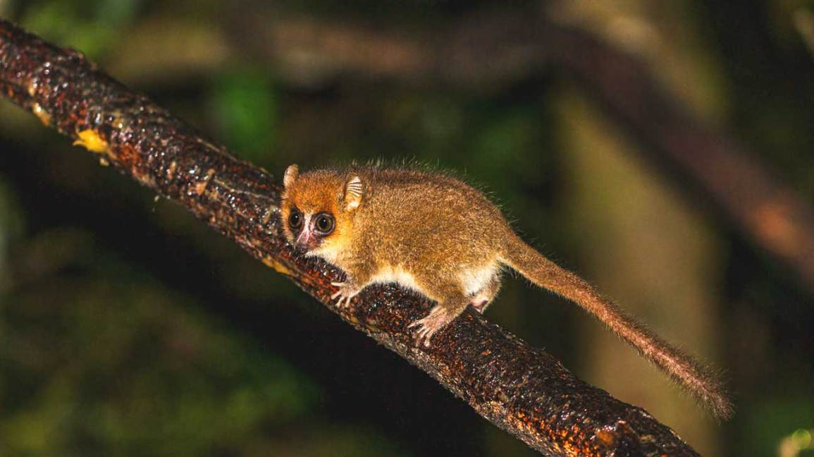 Adorable Mouse Lemurs May Change the Face of Medical Research