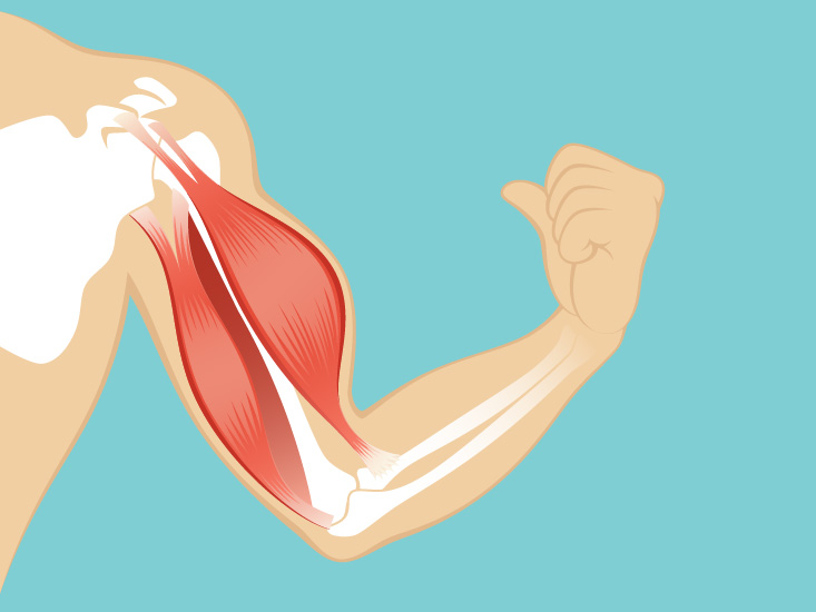 Muscular System Anatomy, Diagram  Function Healthline
