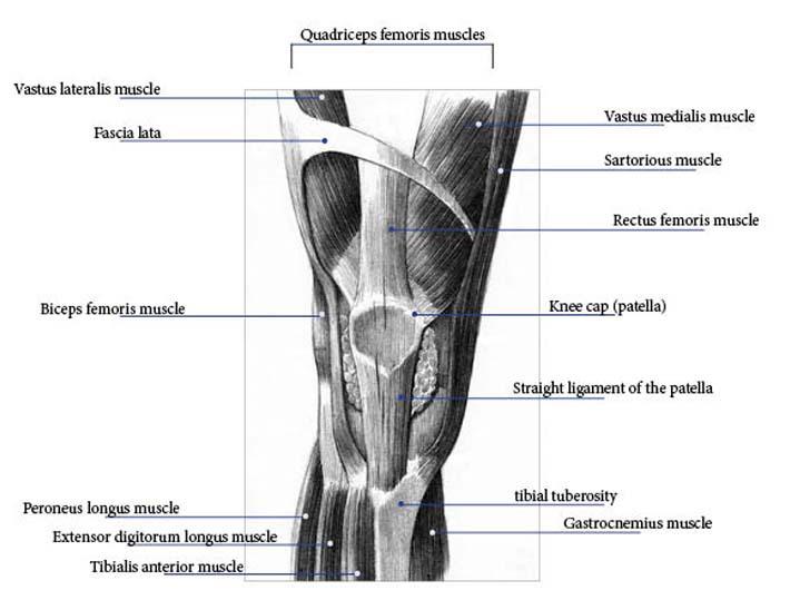 knee tendon diagram