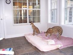 Davids Flea Free Cats On Bed