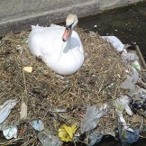 640px-Pollution_swan