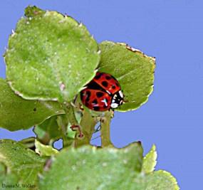 Asian Lady Beetle on Impatiens