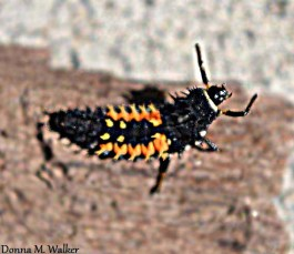 Asian Lady Beetle larva